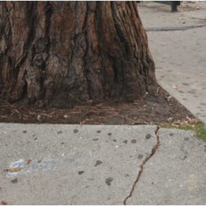 tree roots cracking the sidewalk